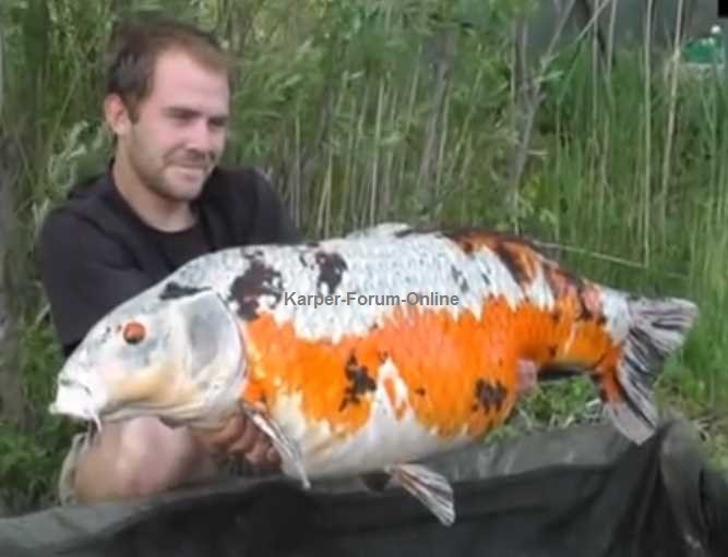 Giant koi carp fish for Giant koi fish